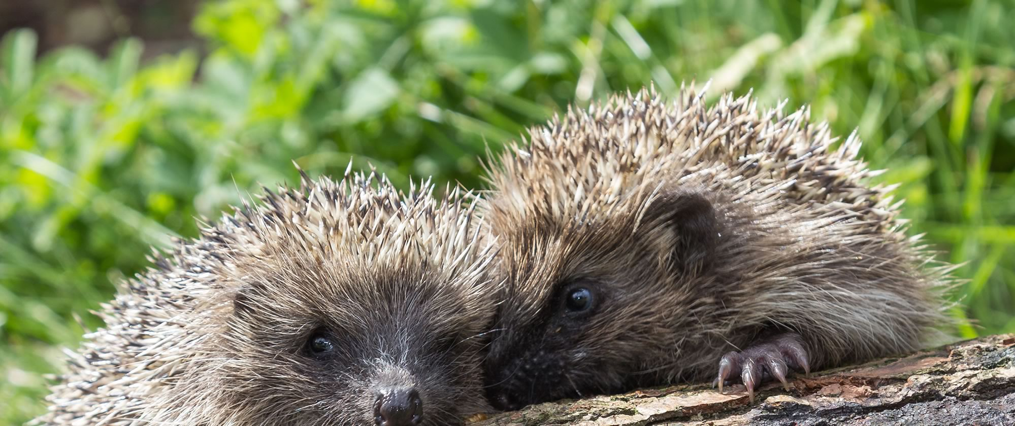 Helping hedgehogs around Stratford-upon-Avon