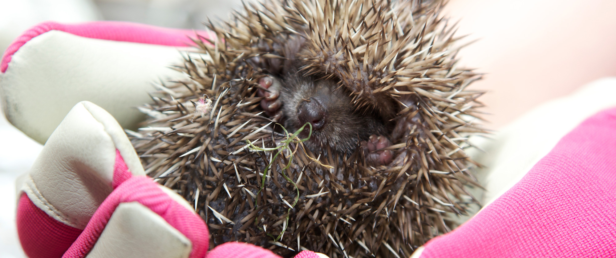 We rescue hedgehogs